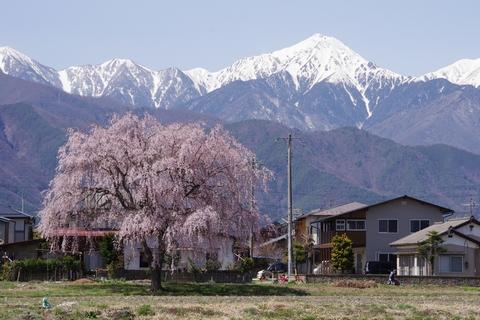 枝垂桜その7