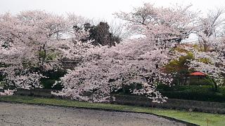 鶴岡八幡宮桜
