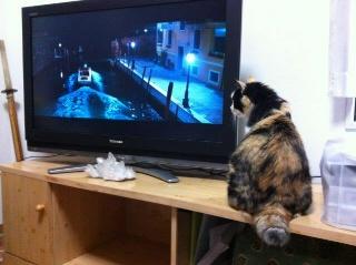 DVDを観る猫