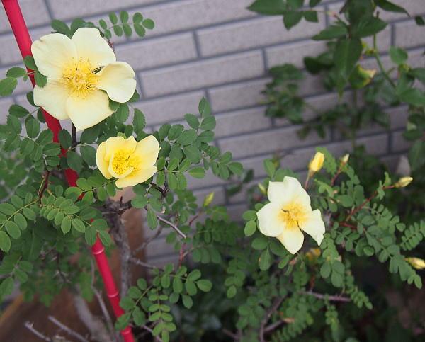 カナリーバード 花