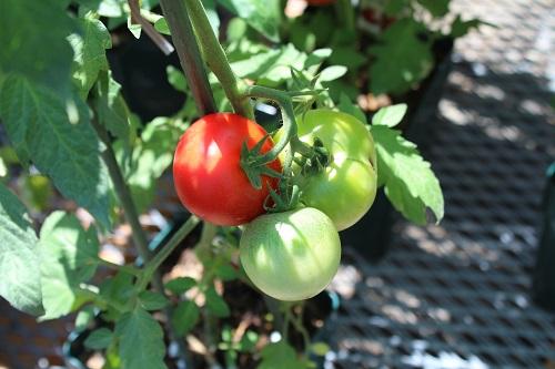 tomato_20130627180756.jpg