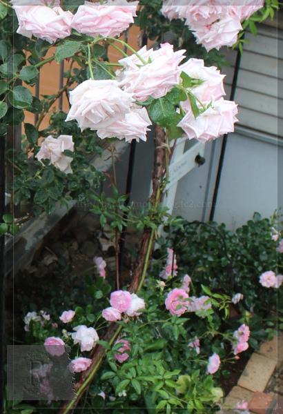 階段下 ボニカ シンデレラ 羽衣 20130531