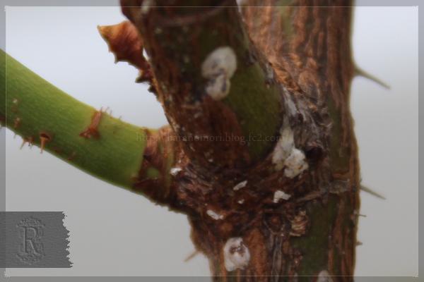 害虫 カイガラムシ