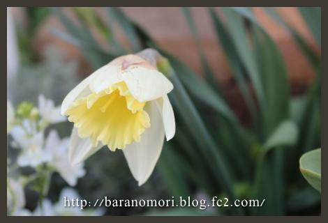 庭の花 マウントフット ホワイトガーデン 20130407