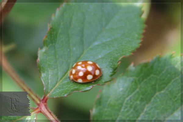 益虫 シロジュウシホシテントウ テントウムシ