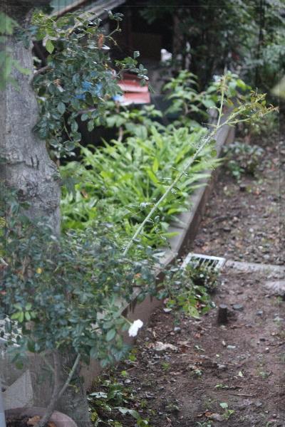 庭の花 20130712