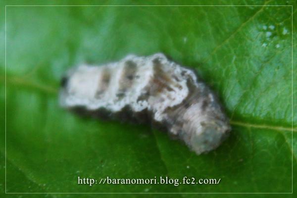 益虫 ヒラタアブ 幼虫