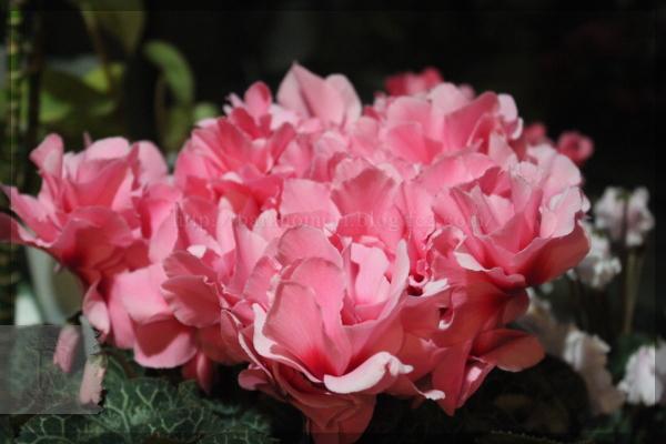 シクラメン 大輪 八重 2012年最新品種