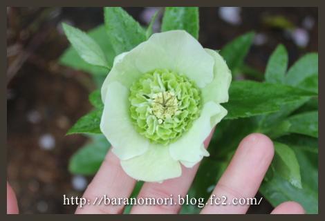 庭の花 クリロ クリスマスローズ 20130407