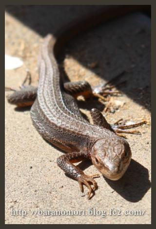 庭の生き物 トカゲ カナヘビ