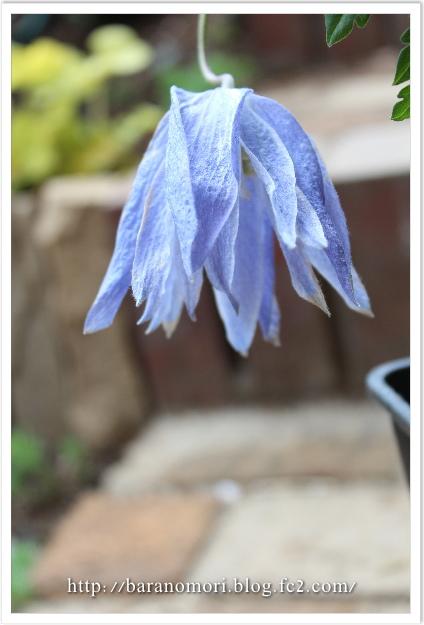 庭の花 クレマチス
