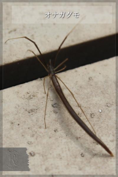 虫 オナガグモ