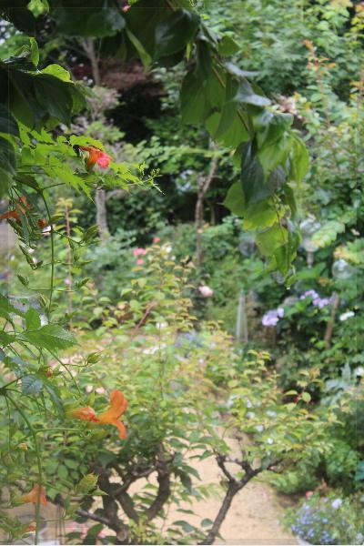 ノウゼンカズラ 庭の花 20130701