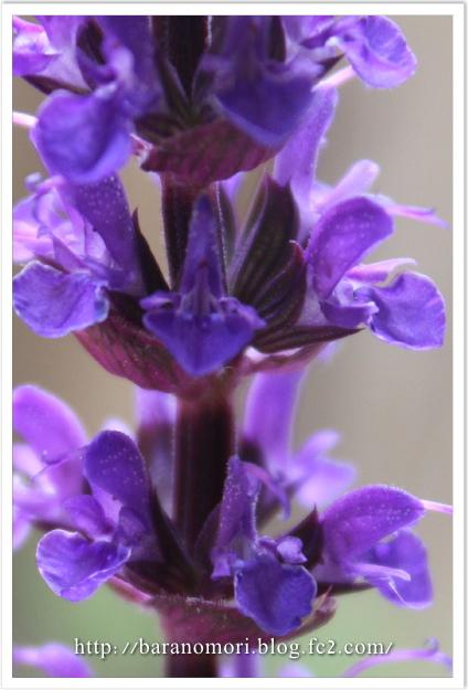 庭の花 サルビア
