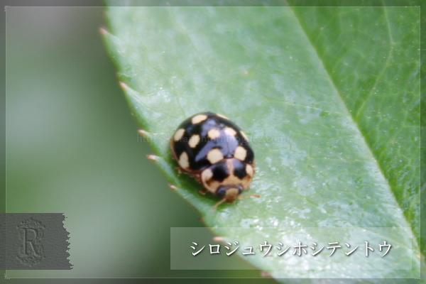 益虫 シロジュウシホシテントウ 暗色型