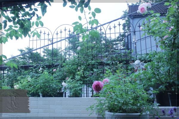 庭の花 バルコニー 20130611