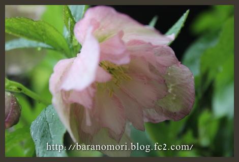 庭の花 クリロ 20130407