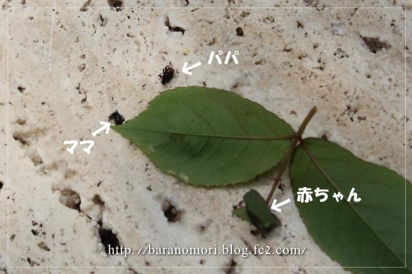 害虫 オトシブミ 20130426