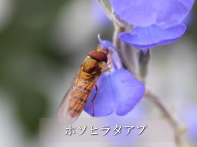 益虫 ヒラタアブ