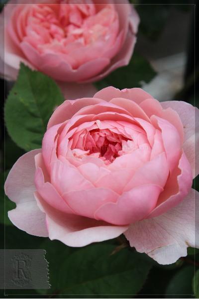 挿し木 謎のバラ 20130519