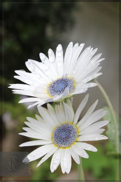庭の花 20130701