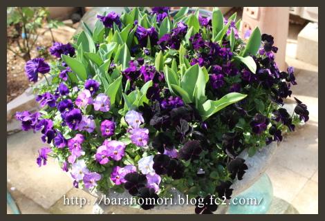 庭の花 20130404 大鉢