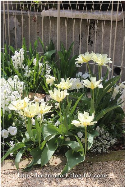 庭の花 チューリップ