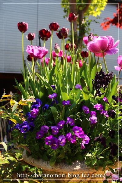 庭の花 20130429 大鉢