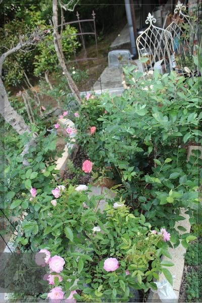庭の花 20130521 擁壁上 紫コーナー