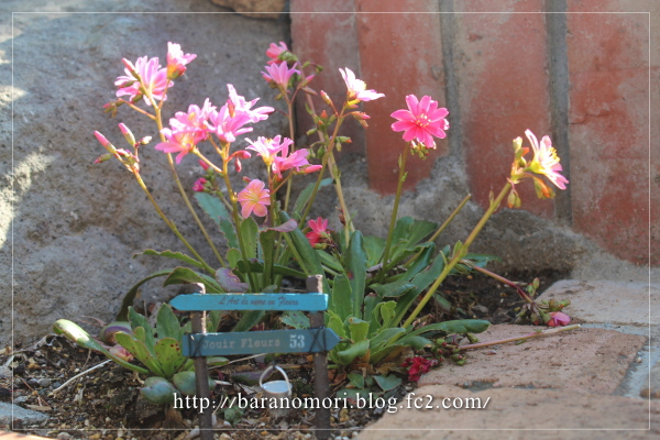 庭の花 レウイシア 20130422