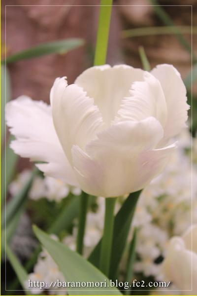 庭の花 20130430 チューリップ