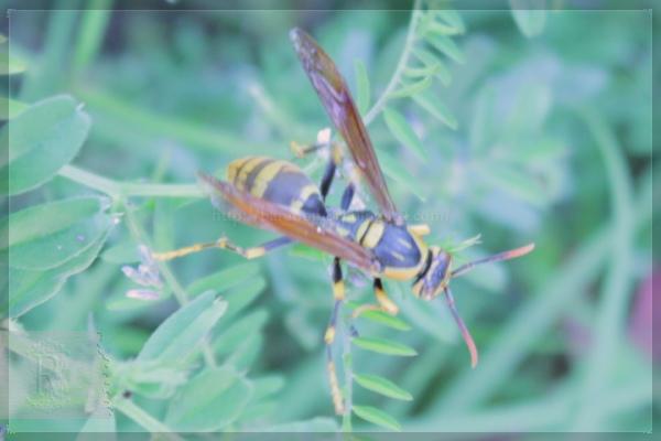 益虫 アシナガバチ