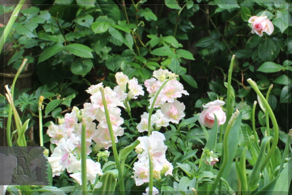 庭の花 20130520 金魚草 ウェッジウッドローズ