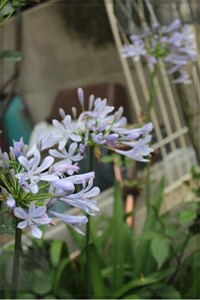 アガパンサス 庭の花 20130717