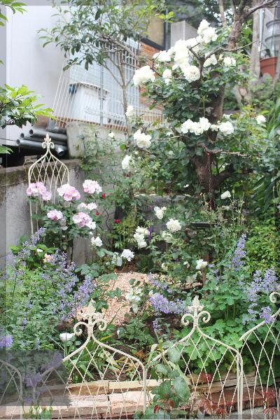 庭の花 擁壁上 ホワイトメイディランド 20130530
