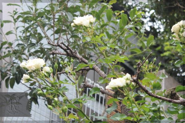 ホワイトメイディランド 20130628