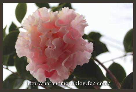 庭の花 椿