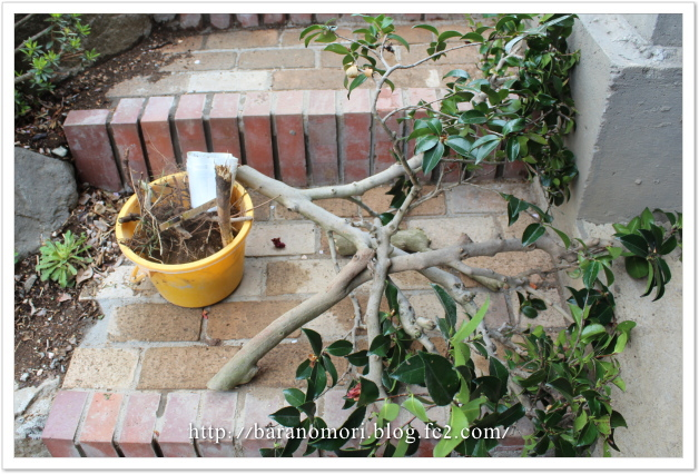 庭づくり 伐採 サザンカ 20130410