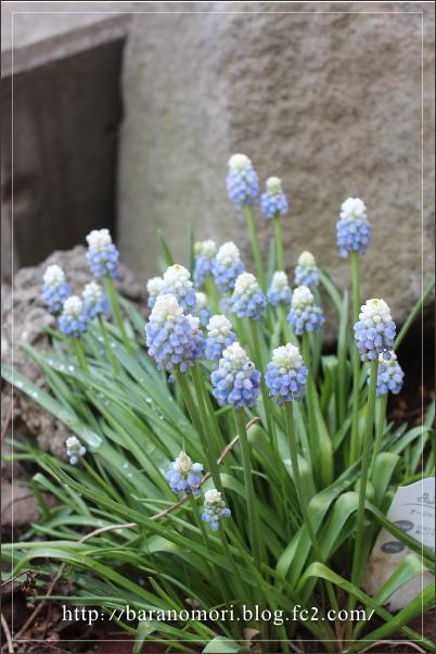 庭の花 20130416