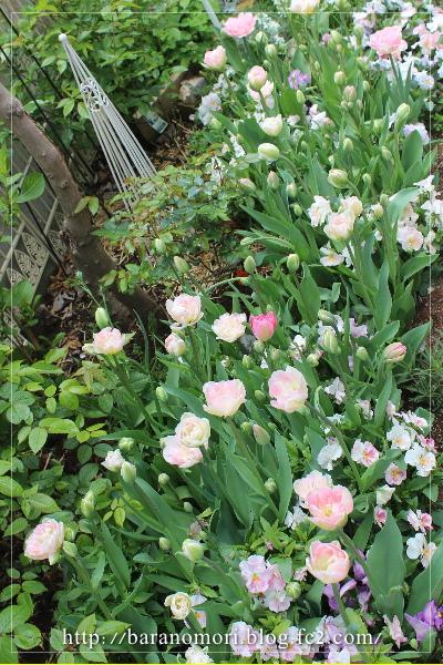 庭の花 チューリップ 寝室前 20130426