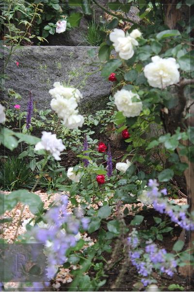 庭の花 擁壁上 ホワイトメイディランド 紅玉 ブルーフォーユー 20130530