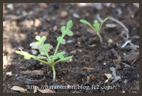 庭の花 20130404