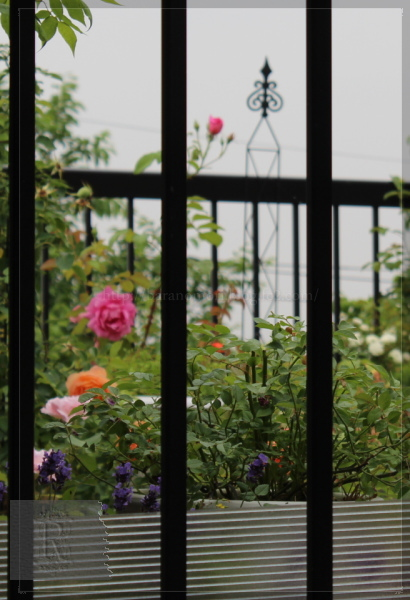 庭の花 バルコニー 20130606