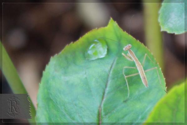 カマキリ 幼虫 20130624 益虫