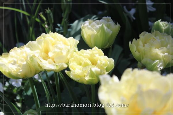 庭の花 チューリップ 芳香種