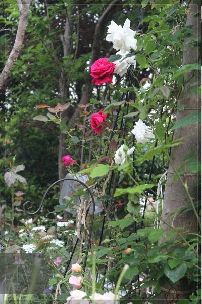 庭の花 20130521 寝室前