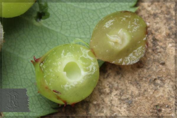 バラハタマフシ バラハタマバチ 虫こぶ 20130525
