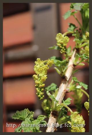 庭の花 20130404 房スグリ