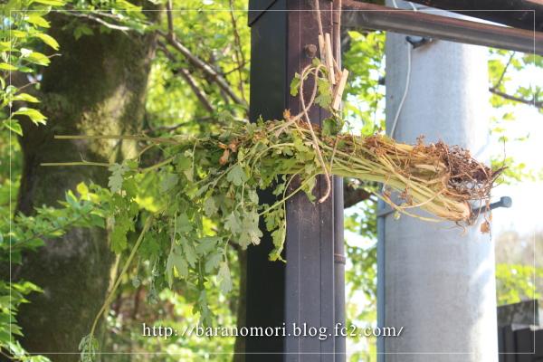 クサノオウ 自然農薬