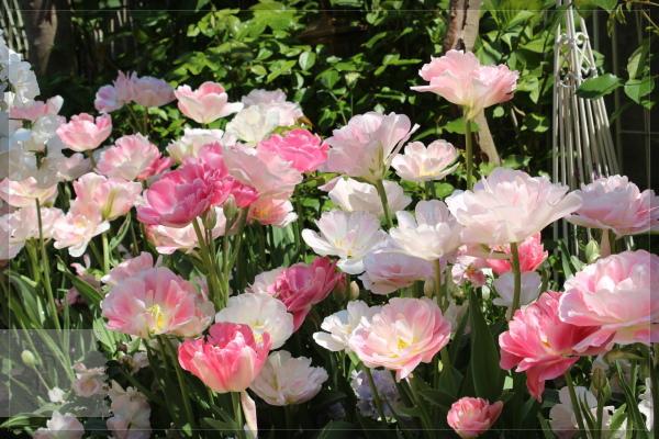 庭の花 チューリップ 20130504